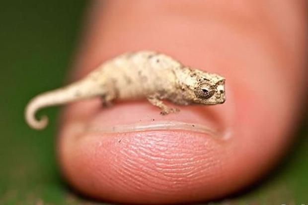 Самый маленький хамелеон в мире имеет длину 3 см