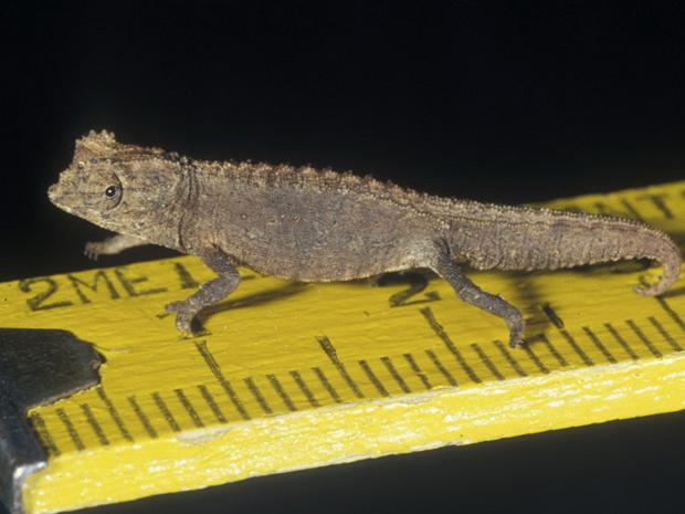самый маленький в мире хамелеон