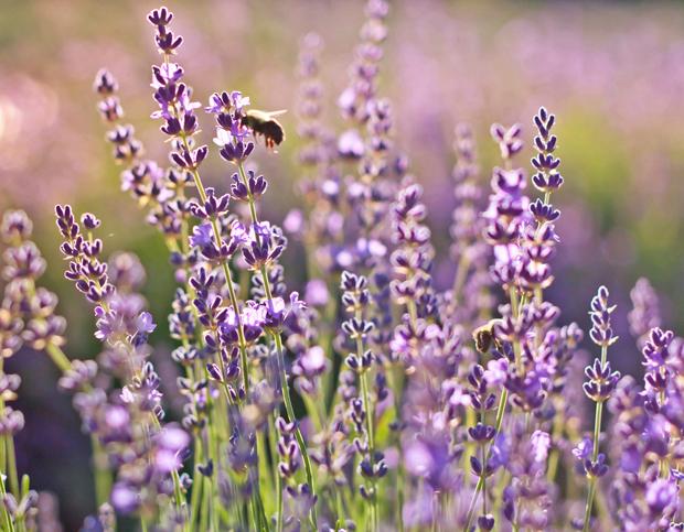 Запах соцветиев лаванды - является сильнейшим антидепрессантом.