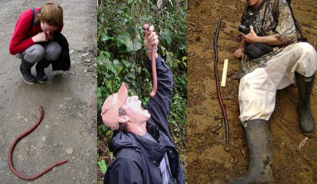 В Австралии существует гигантский дождевой червь