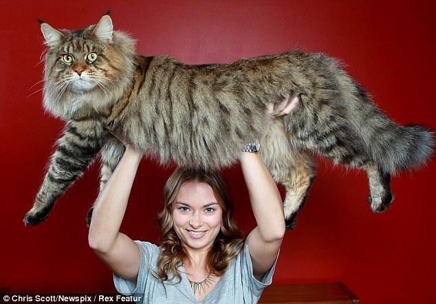 самый большой в мире кот