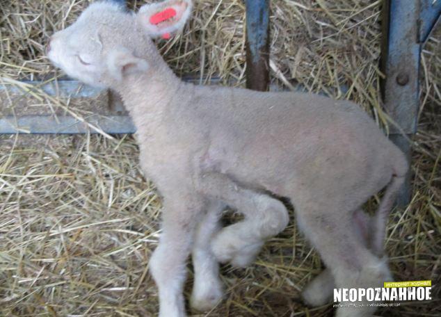 во франции родилась овечка с пятью ногами